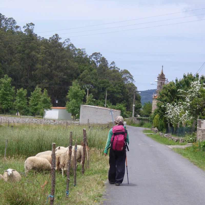 613ムシア サンティアゴ巡礼 最終地Muxia 田舎道 羊群れ1