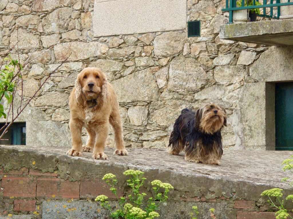 613ムシア サンティアゴ巡礼 最終地Muxia 田舎道 犬2匹こちら見る