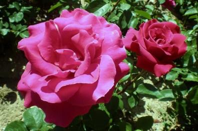 Albacete: Rosas en los jardines de