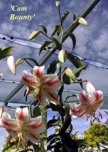 Oriental Hybrid Lilium 'Cam Bounty'