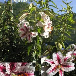 Oriental Lilium Hybrid 'Cam Shiraz'