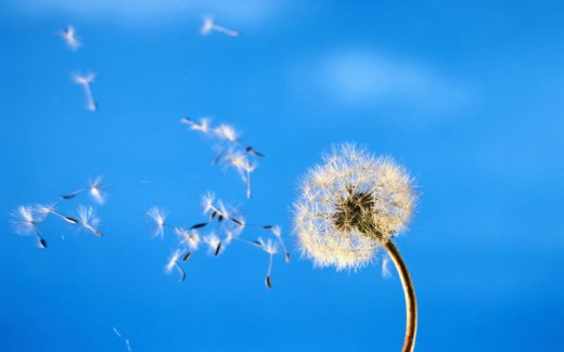 dandelion-in-wind_w520