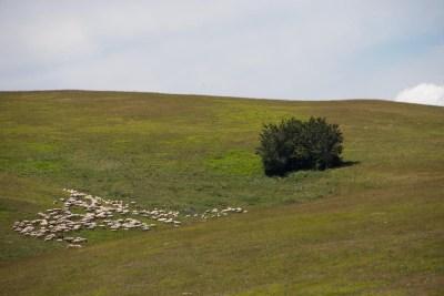 Cammino Terre Mutate Tappa 4 Fiastra Ussita paesaggi e pecore
