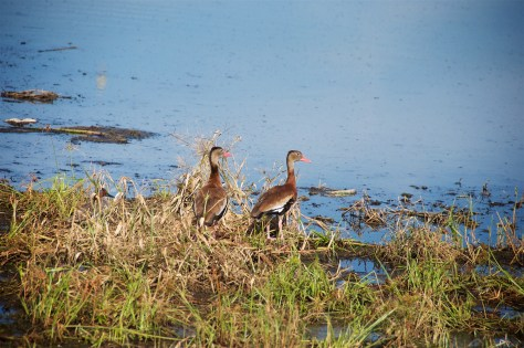 Black-bellied whistling ducks