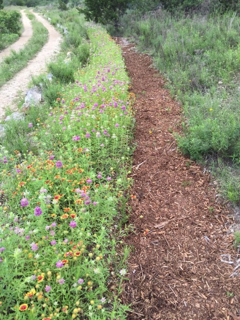 Polinator-covered berm and mulch-covered swale in spring