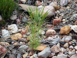 pine_seedling_c_600x450