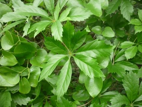 Seven-leaf creeper. Parthenocissus heptaphylla