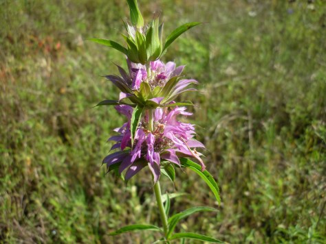 Lemon beebalm.Monarda citriodora