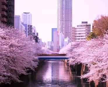Địa điểm ngắm Hoa Anh Đào- Sakura đẹp số 1 Nhật Bản