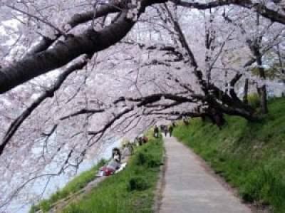 Hoa Anh Đào ở Công Viên Okazaki - Aichi