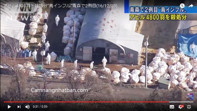 Dịch cúm gia cầm đang bùng phát ở Nhật Bản tiêu hủy hơn 32 vạn con để phòng chống