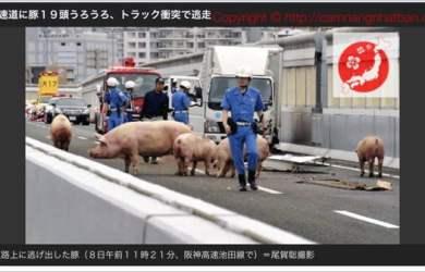 Lợn chạy loạn xạ trên đường cao tốc ở Nhật Bản