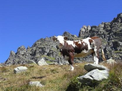 Vacca al Paiare
