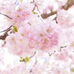 宮崎で桜を見ながらキャンプ