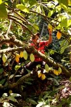 Senhor indígena na colheita do cacau, 2012, por Daniela Alarcon.
