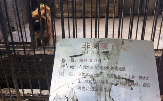 "The sign reads ""feizhou shi"" (African lion)"