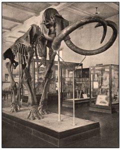 Columbian Nammoth (elephas columbi)