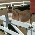 Donkey at Winding River Resort Village in Grand Lake, Colorado