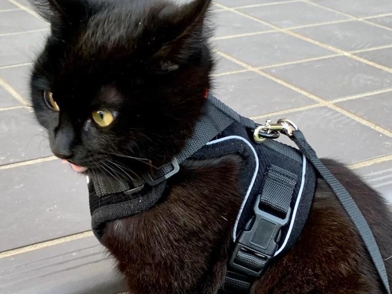 猫用ハーネスを着けた福