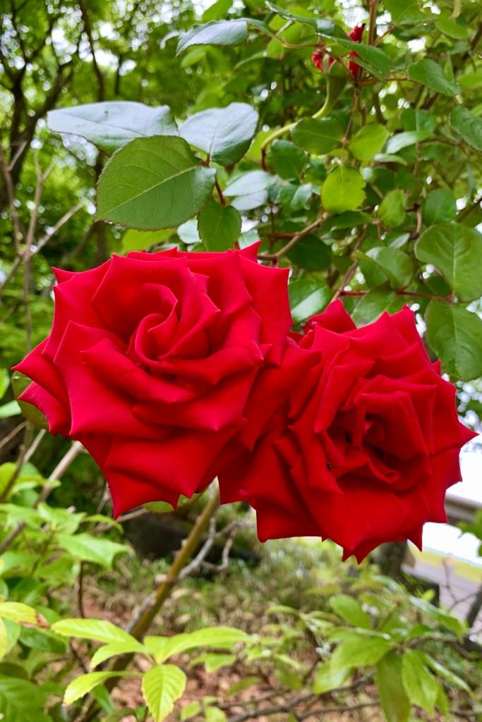 2本の薔薇
