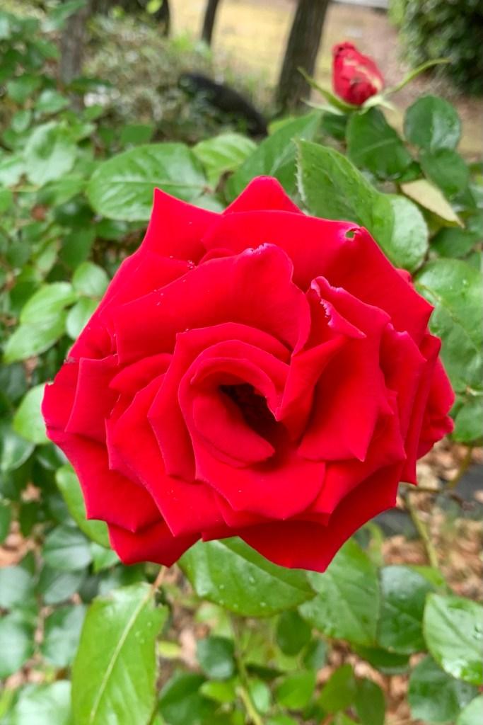 一本の薔薇