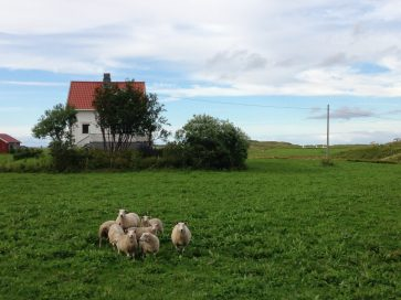Schafe in Fredvang