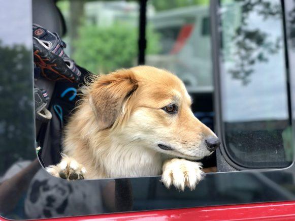 Hund Whiskey schaut aus dem Bulli-Fenster