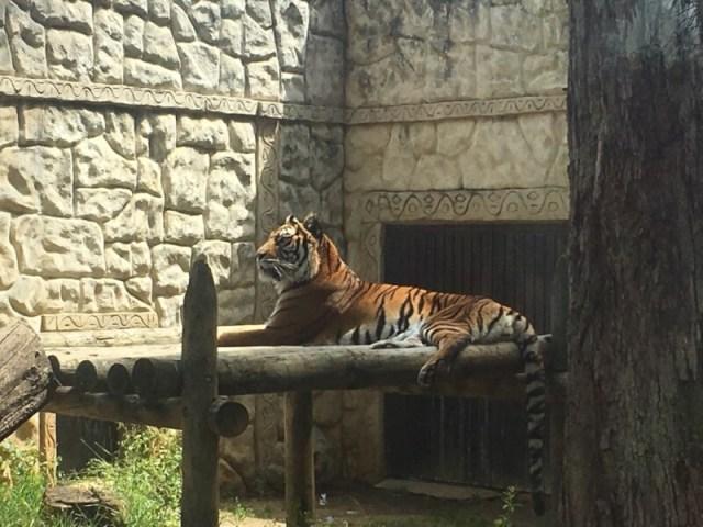 Een eenzame tijger.