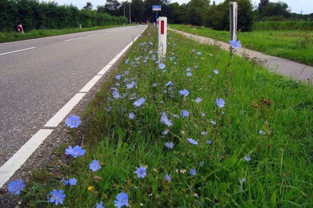 De Wegenwachter is vaak naast de weg te vinden en kan tegen strooizout. Bron Wikipedia, Syborgh.