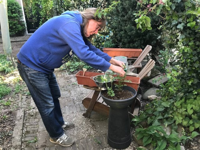 Walter de tuinman knipt de kruiden voor de maaltijd... Wie had dat ooit gedacht. (Coronacrisis).