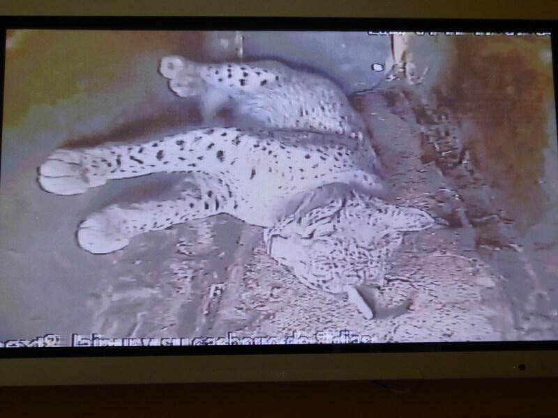 De Lynx is alleen te zien op een tv-beeld.
