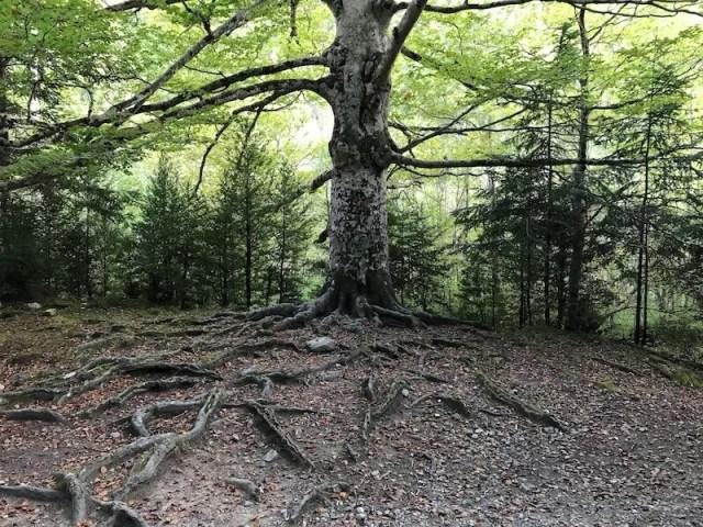 De lagere route komt door prachtige (herfst)bossen met indrukwekkende bomen.