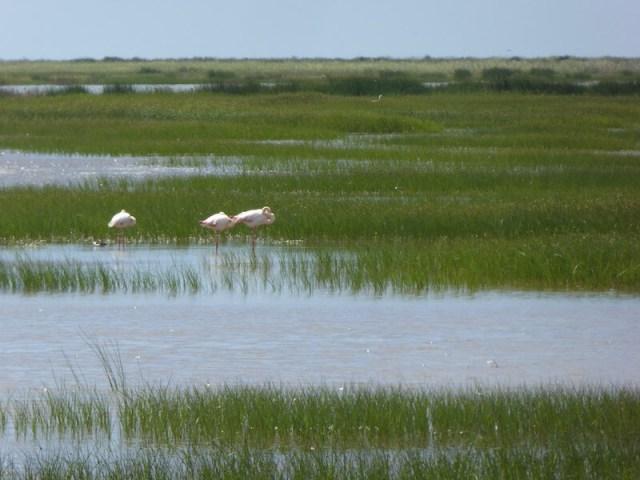 Doñana is belangrijk voor vele vogelsoorten. Ook voor deze flamingo's.