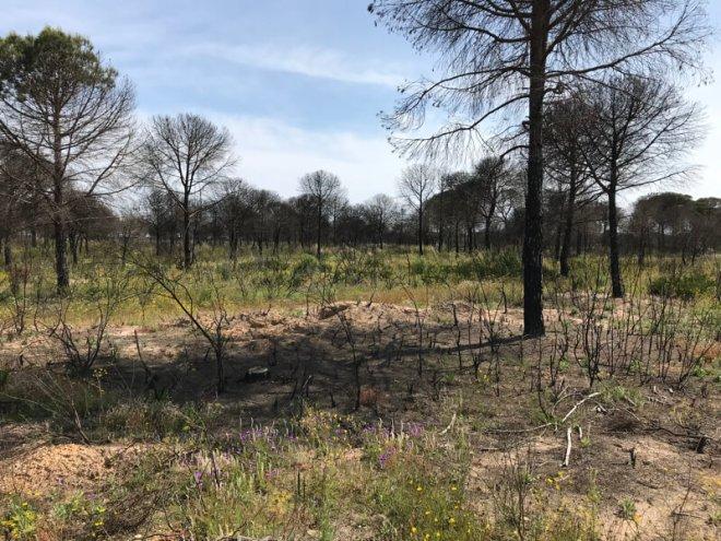 Bos in Parque Natural de Doñana na de brand van vorig jaar.