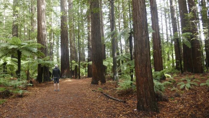 The Redwoods Forest Rotorua Walks