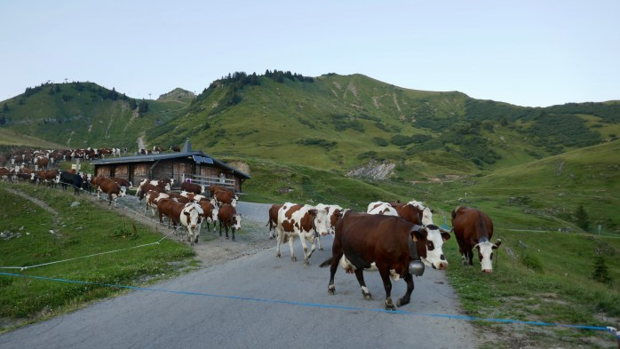 Cattle in France