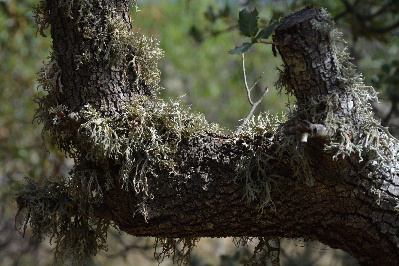 lichens-on-oak-tree