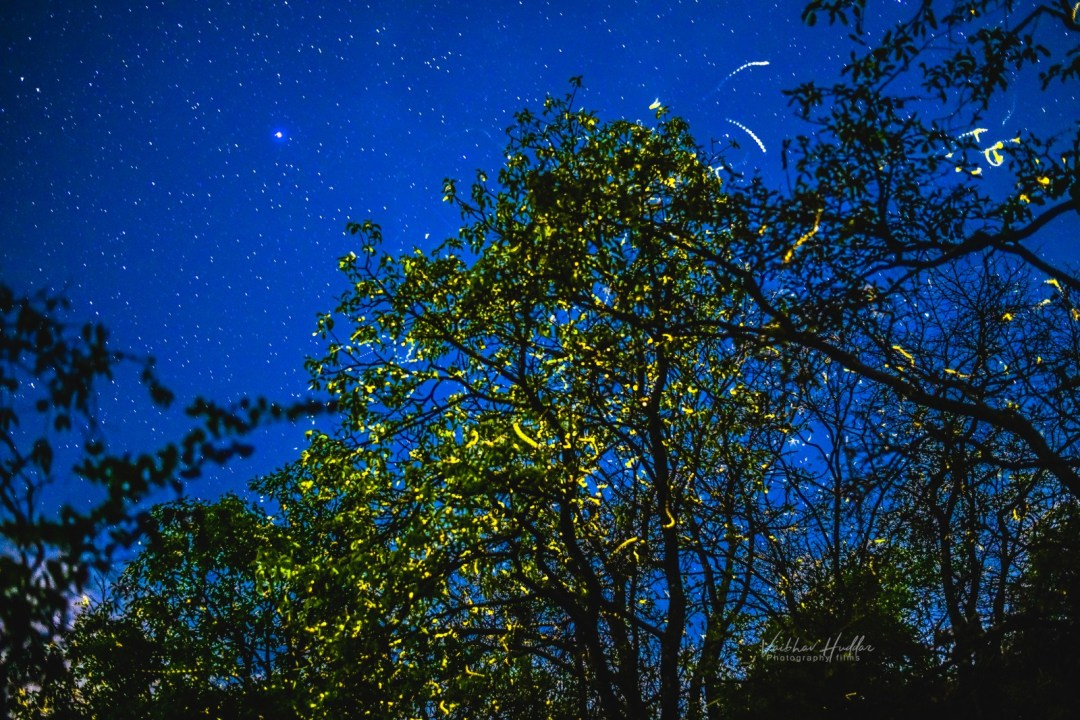 Gallery_Fireflies_5