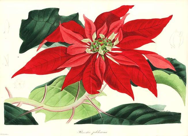 La Stella di Natale .. consigli per la cura ed il mantenimento