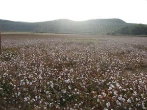 Campo de algodón en la comarca de Andújar.