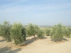 olivo1
