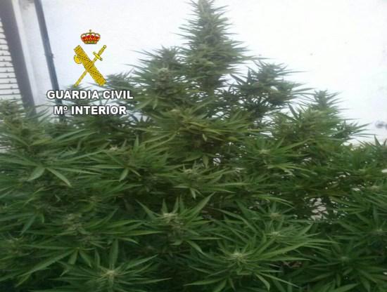 Plantación de marihuana incautada en La Carolina. Foto: Guardia Civil.