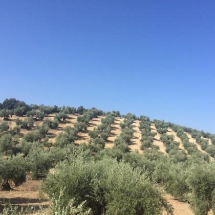Olivar en pendiente en la comarca de Andújar.