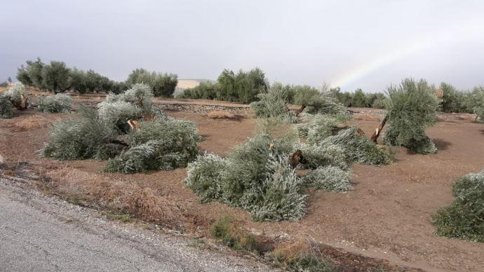 Olivos cortados en Porcuna
