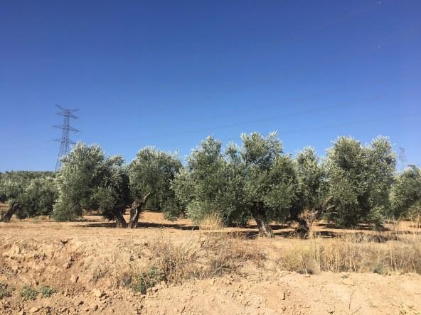 Módulos del olivar