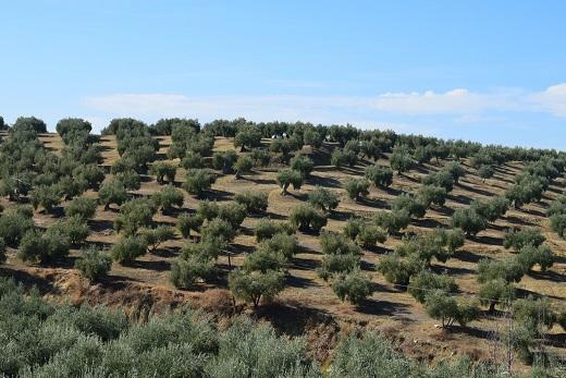 COAG Jaén cree que el menor enlace de cosecha y las previsiones a la baja de producción harán consolidarse la subida del precio del aceite.