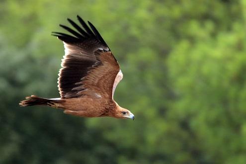 El águila imperial ibérica reina en Andalucía.