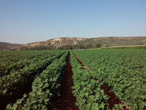 COAG Jaén pide a la Consejería que contemple la situación excepcional del algodón en lugares de la provincia donde ni siquiera se recogerá por falta producción.