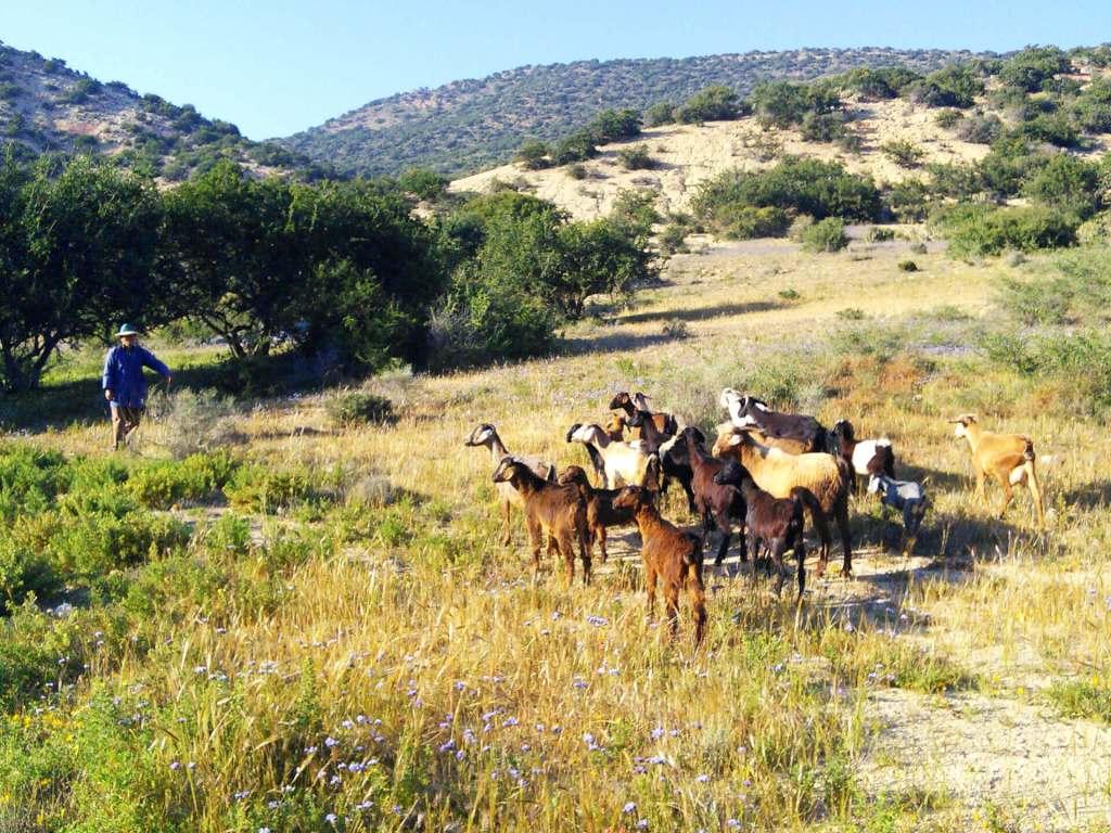 Camping Aourir - Goat herd