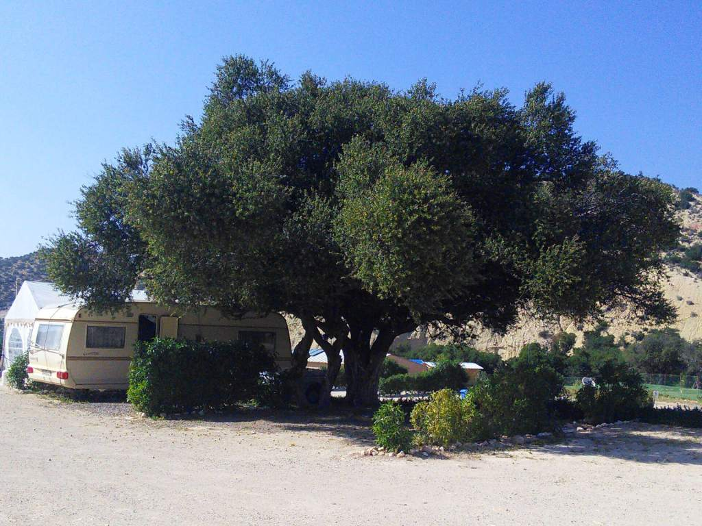 Camping Aourir - our big argan tree